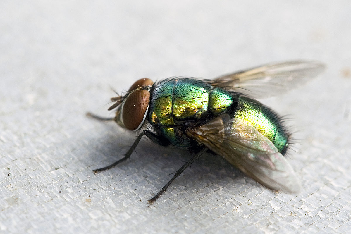 Comment Se Débarrasser Des Petite Mouche comment faire pour se débarrasser des mouches ?